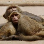 Monkey steals Rs 50,000, showers over village